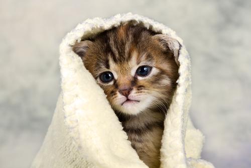 maladie sida du chat
