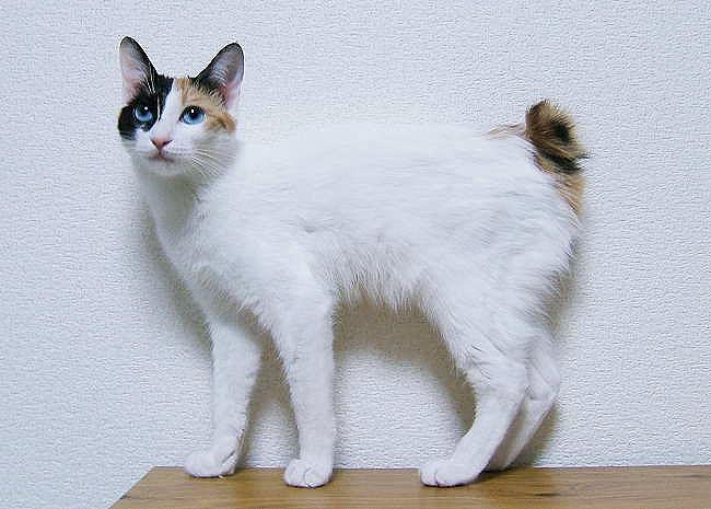 Chat Japanese Bobtail