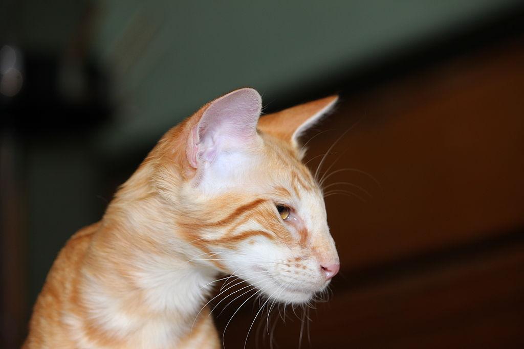 chat Javanais
