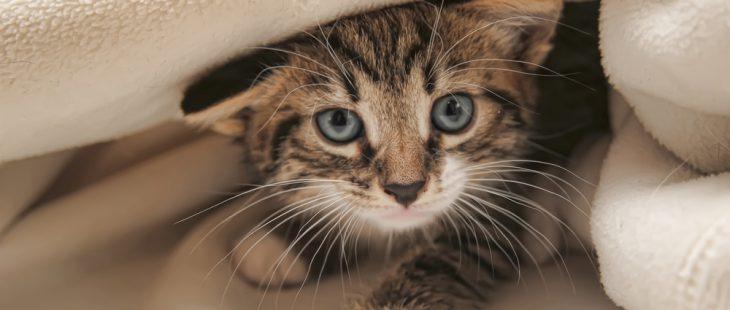punaise de lit et chat